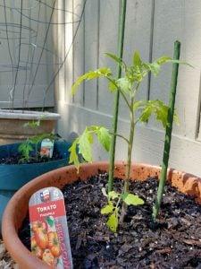 tomato transplant in pot