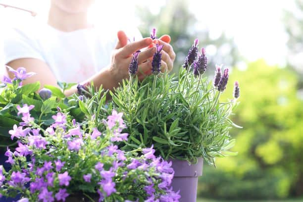 lavender plant growing in a pot