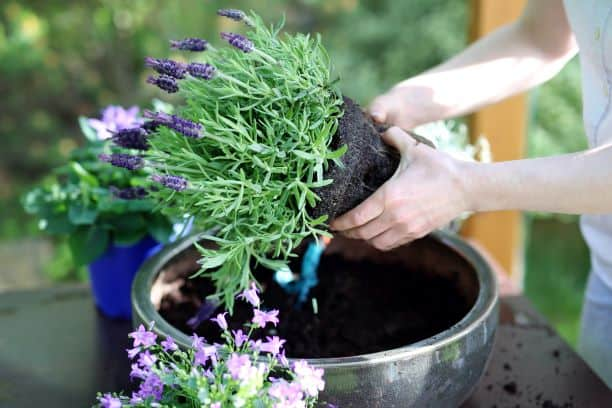 how to grow lavender in a pot